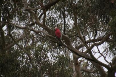 Galah in tree