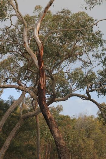 Tree with interestingly coloured bark