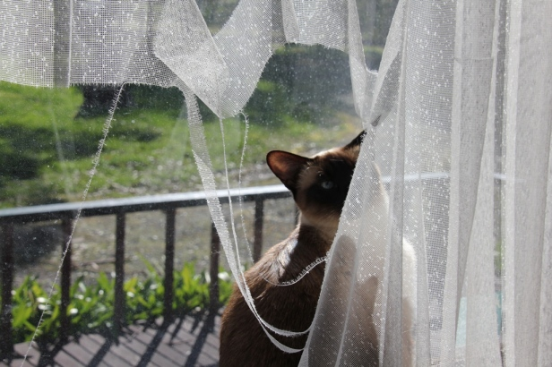 Clio has torn a rather large hole in the curtain!