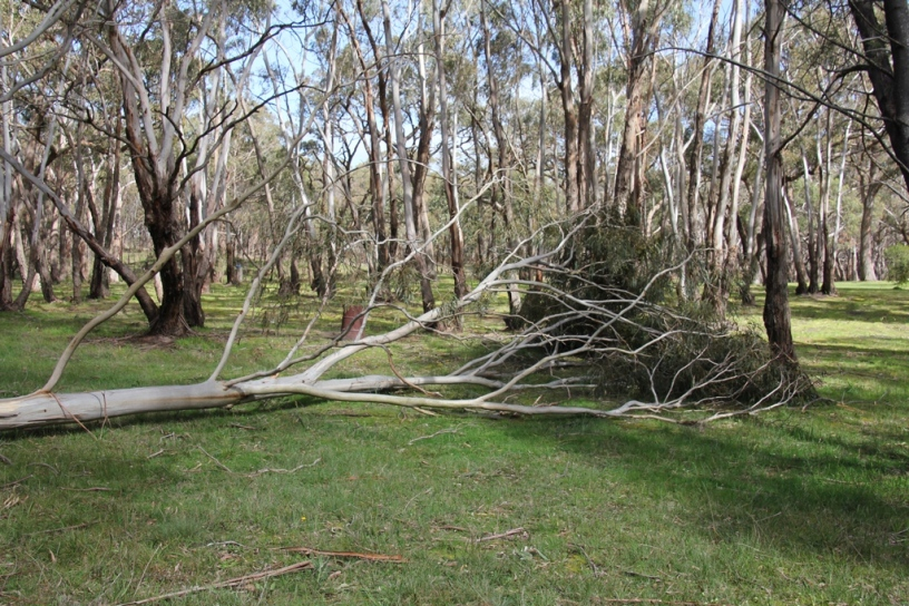 Canopy of the fallen tree