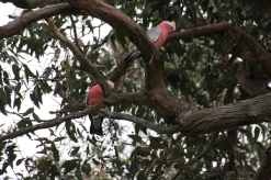 Pair of galahs in the branches of a large tree