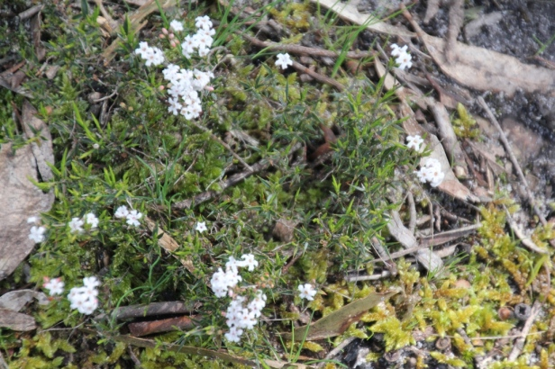 Native White Heath