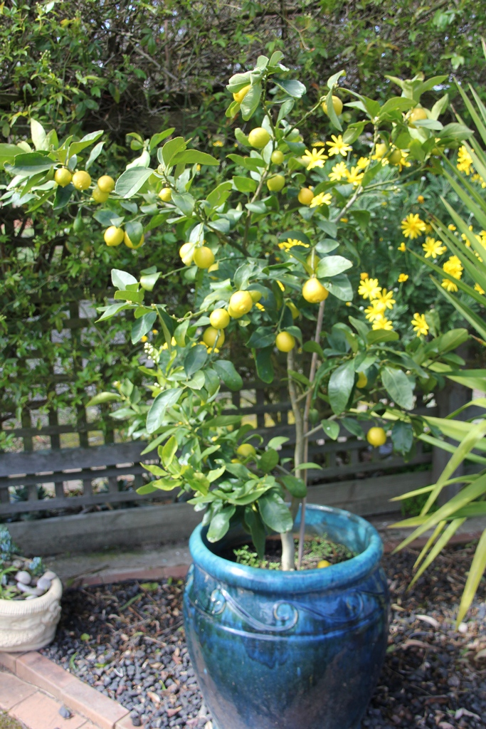 Tahitian Lime Tree in glazed pot