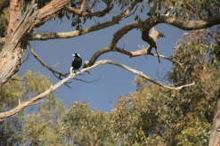 Magpie looking down from the safety of a tree