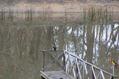 Pied Cormorant on the jetty