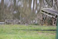 Plover near the dam.