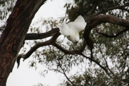 Sulphur Crested Cockatoo in a tree.