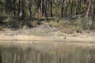 Wood ducks swimming on the dam