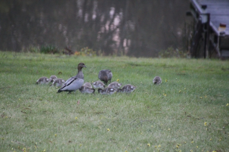 Australian Wood Ducks with ducklings