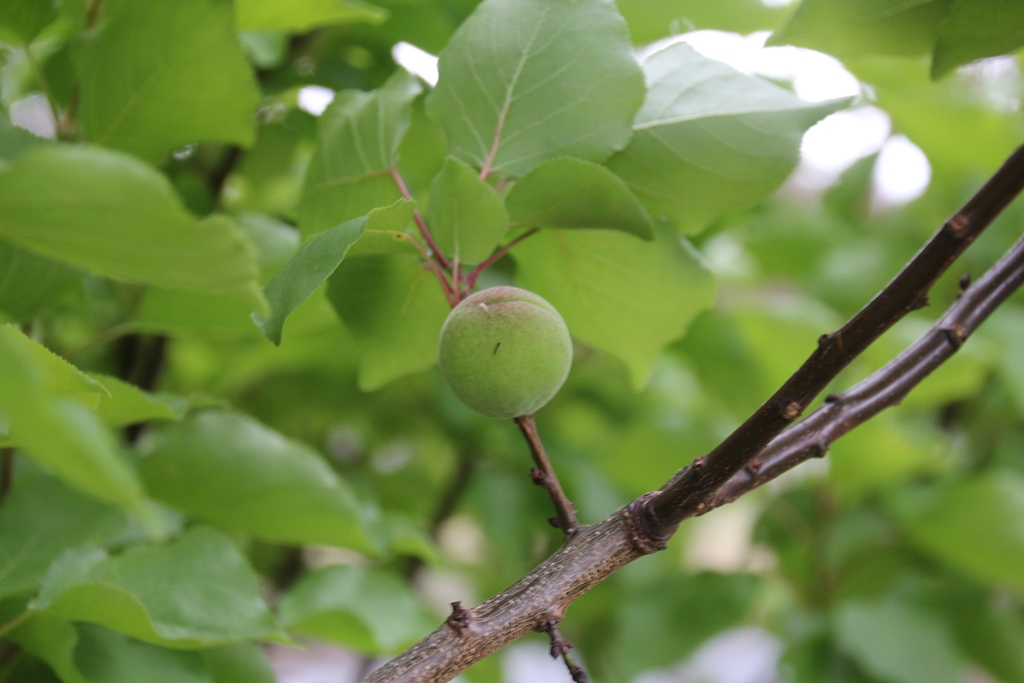 Apricot or nectarine