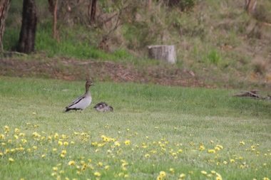 Female Australian Wood Duck