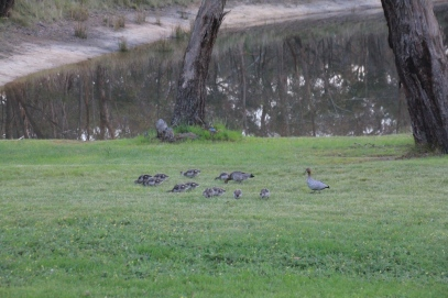 Adult Australian Wood Ducks herd their ducklings