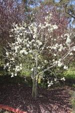 Fruit Tree in Blossom