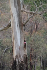 Galah Investigating a Tree Hollow