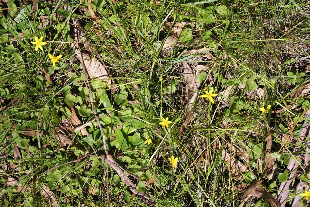 Native Lillies
