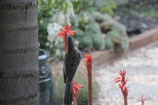 Red Wattlebird on succulent flower