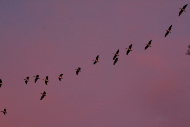 Straw Necked Ibis flying through a pink sky