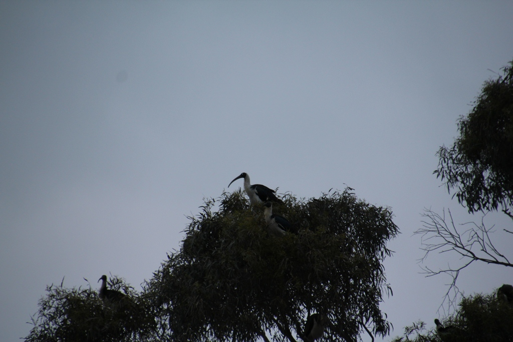 Straw Necked Ibis Roosting