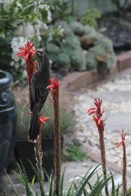Red Wattle Bird Feeding