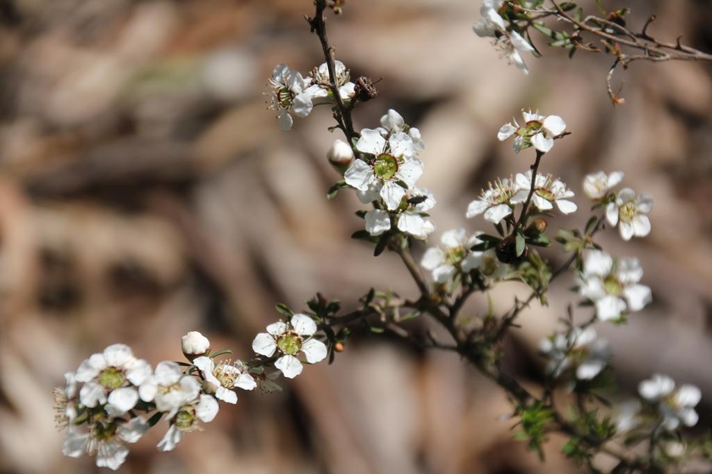 Australian native flowers fifteen acres white heath mightylinksfo