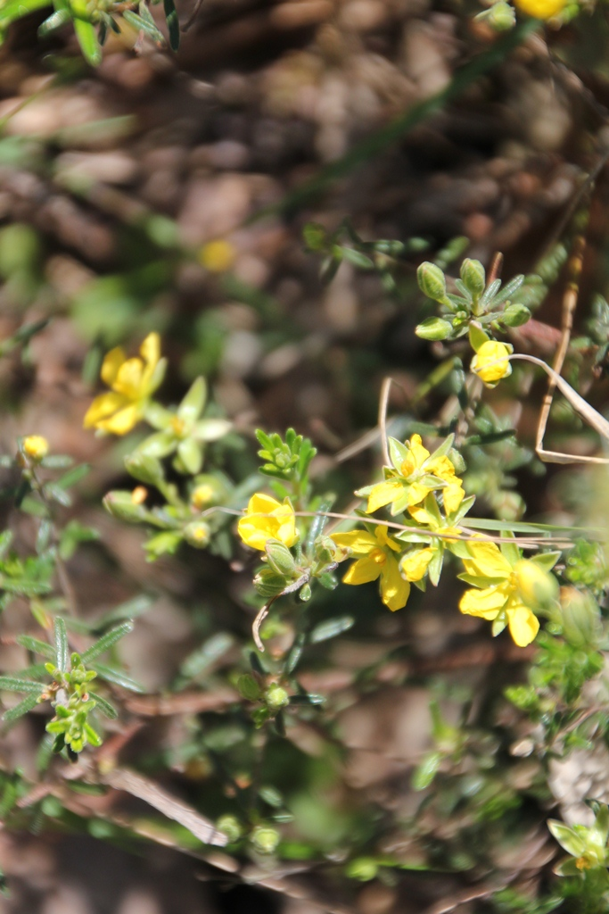 Yellow Heath