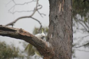 Cockatoo climbing in eucalypt tree