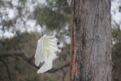 Cockatoo about to land on a tree