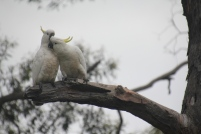 Two Cockatoos grooming each other