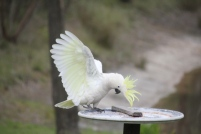 Cockatoo showing underside of wings, and the crest