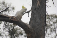 Cockatoo perched in a eucalypt tree