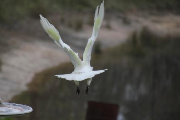 Cockatoo in flight