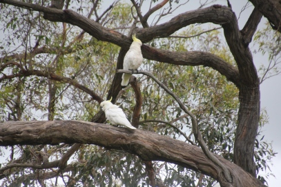 Cockatoos perched in a eucalypt