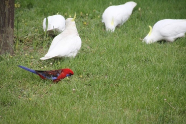 A Crimson Rosella grazes with the Sulphur Crested Cockatoos