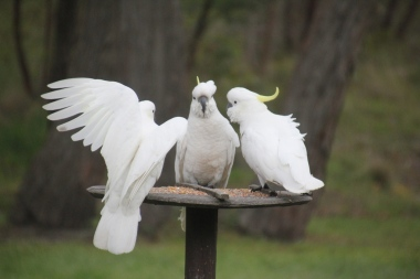 Cockatoos on the bird feeder