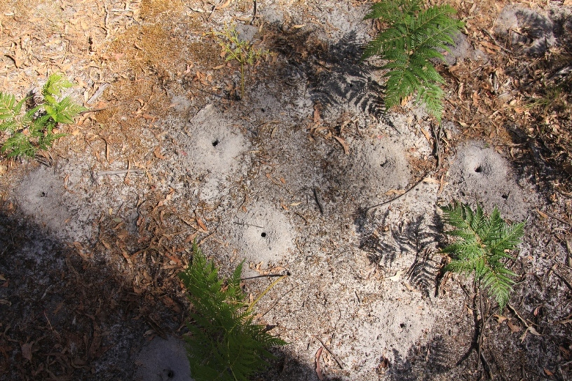 Ant nests in the bushland