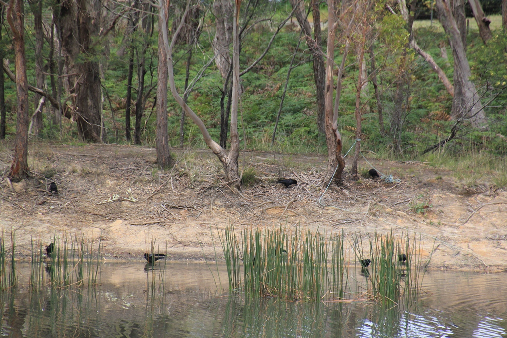 Australian Ravens around the dam