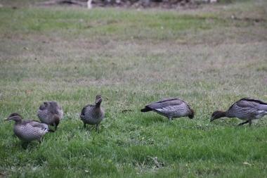 Australian Wood Ducks grazing