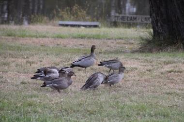Australian Wood Ducks grooming