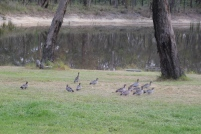 Australian Wood Duck family
