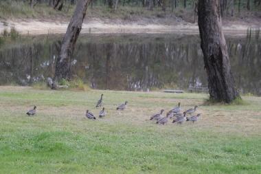 Australian Wood Duck family