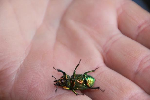 Golden Stag Beetle Underside