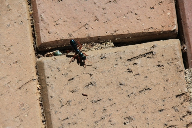 Blue Ant in Courtyard