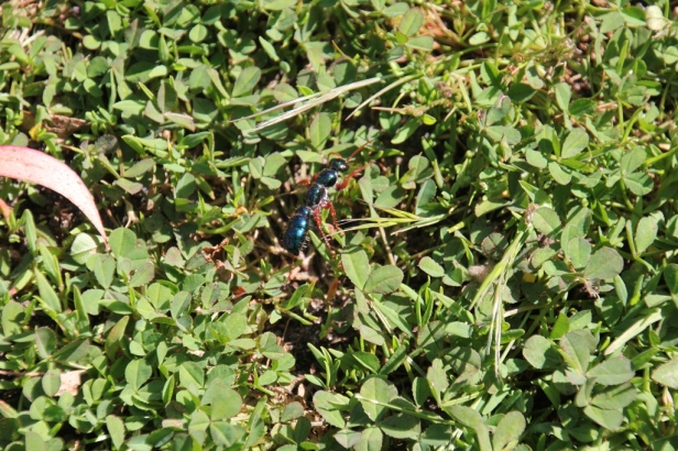 Blue Ant on green grass