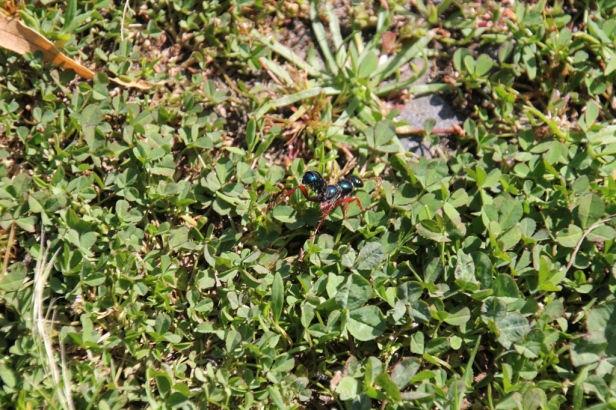 Blue Ant showing red legs