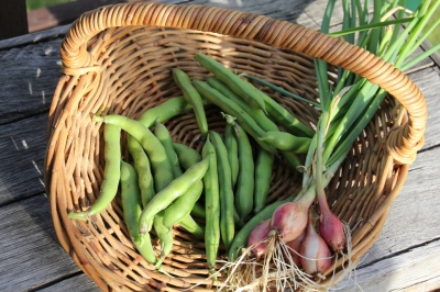 Basket with broad beans and shallots