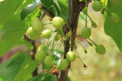 Tiny Green Cherries