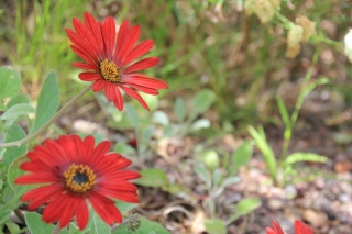 Red gerbera flowers