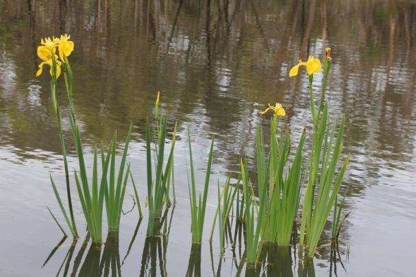 Iris In The Dam