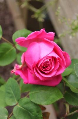 Queen Adelaide Rose