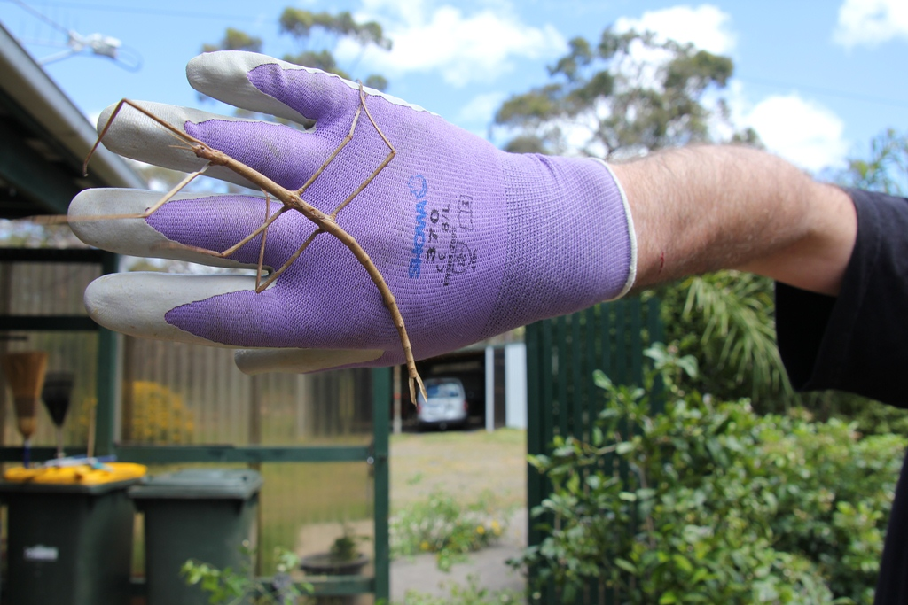 Stick Insect walking on a hand